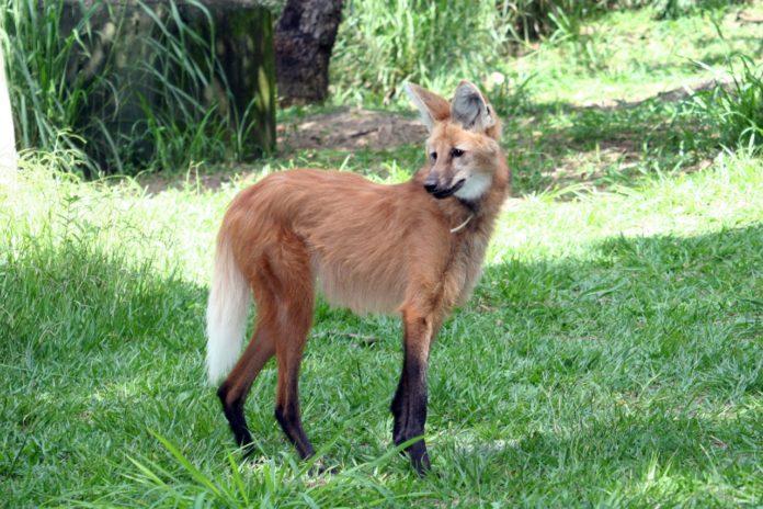 A Cemig contribui para os objetivos sustentáveis da ONU, ao manter reservas naturais, onde vivem espécies ameaçadas como o lobo-guará
